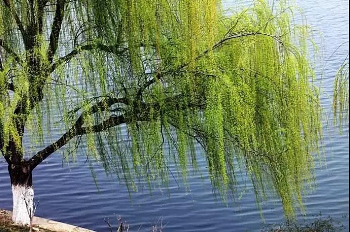 万条垂柳绿丝绦
